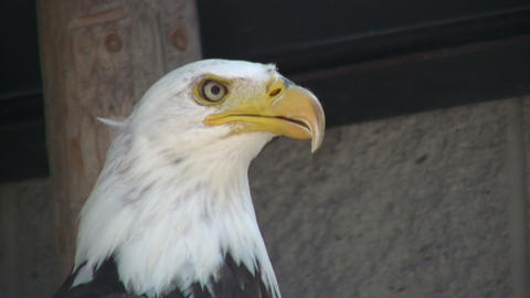 Closeup of Bald Eagle nervously looking around (High Definition) Footage