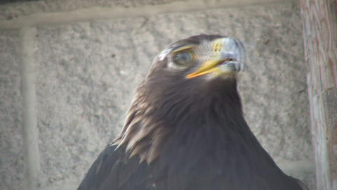 Closeup of Golden Eagle nervously looking around (High Definition) Footage