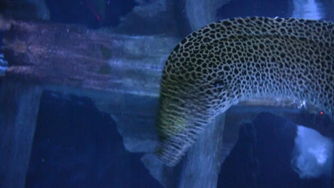 Green Moray Eel gracefully swims through the dark water Stock Video Footage