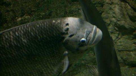 Closeup of Jumbo Gourami swimming through the aquarium... Stock Video Footage