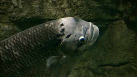 Closeup of Jumbo Gourami swimming through the aquarium (High Definition) Footage
