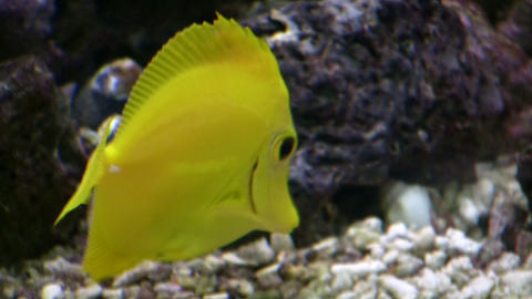 Closeup of a Yellow Tang swimming through aquarium (High... Stock Video Footage