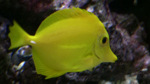 Closeup of a Yellow Tang swimming through aquarium (High Definition) Footage