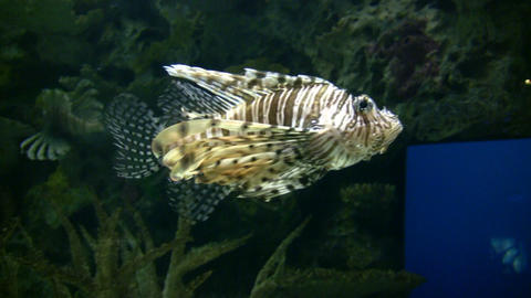 Beautiful Lionfish are swimming through the aquarium (High Definition) Footage