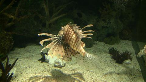 Beautiful Lionfish are swimming through the aquarium... Stock Video Footage