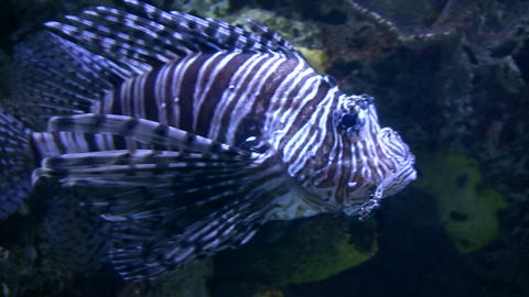 Lionfish casually swims in the water Stock Video Footage