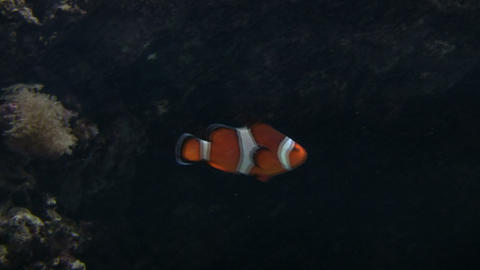 Clown Fish is swimming in the tank Footage