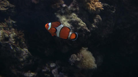 Clown Fish is swimming in the tank Stock Video Footage