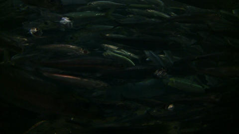 closeup of Northern Anchovy fish swimming against the... Stock Video Footage