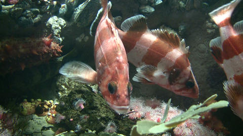 Group of Rockfish are swimming amidst the coral Stock Video Footage