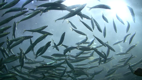 School of fish are swimming against the backlit water Stock Video Footage