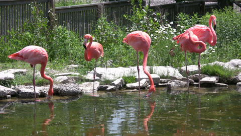 Pink flamingos are grooming and drinking from pond (High Definition) Footage