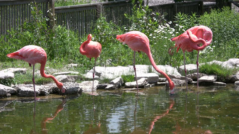Pink flamingos are grooming and drinking from pond (High... Stock Video Footage