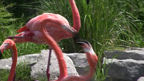 Fighting flamingos! Catch all the action here (High... Stock Video Footage