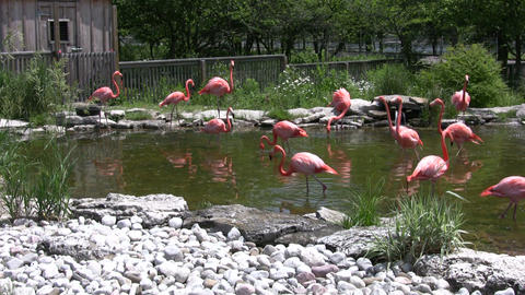 Pink flamingos are walking and drinking from pond (High Definition) Footage
