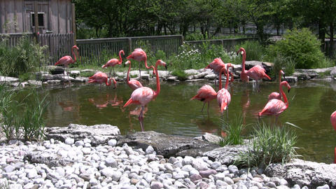 Pink flamingos are walking and drinking from pond (High... Stock Video Footage