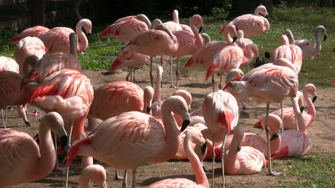 Group of Chilean Flamingos are hanging out on sunny day Footage