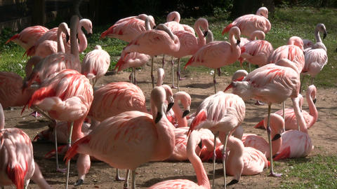 Group of Chilean Flamingos are hanging out on sunny day Stock Video Footage