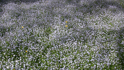 Lots of forget-me-nots are blooming in a field (High... Stock Video Footage
