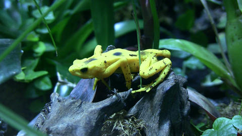 Panamanian Golden Frog is sitting on some rocks Stock Video Footage