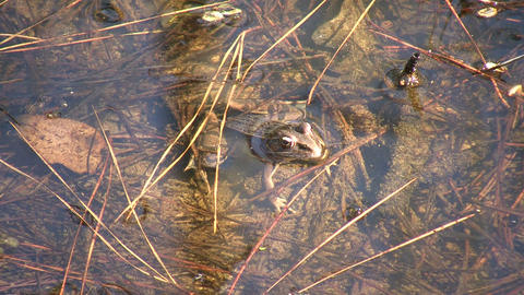 Frog is resting in shallow water on a sunny day Stock Video Footage