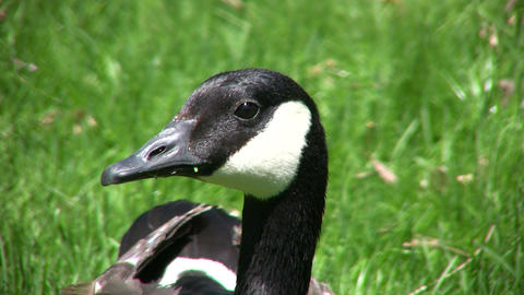 Closeup of Canadian goose as it looks around (High Definition) Footage
