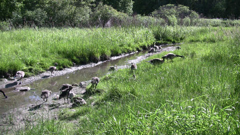 Family of geese are walking along a creek (High Definition) Footage