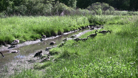 Family of geese are walking along a creek (High Definition) Stock Video Footage