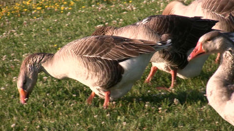Geese is walking around the sunny grass, looking for food Stock Video Footage