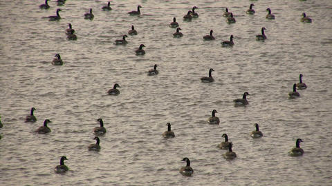 Geese - Swimming 2A (High Definition) Stock Video Footage