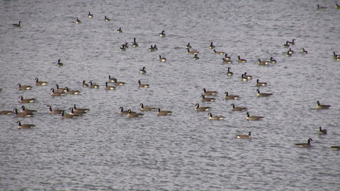 Geese - Swimming 4 (High Definition) Stock Video Footage