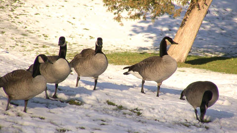 Canadian Geese Hanging Out (High Definition) Stock Video Footage