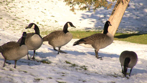 Canadian Geese Hanging Out (High Definition) Live Action