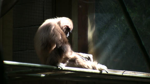 White-Handed Gibbon is sitting in the sunshine Stock Video Footage