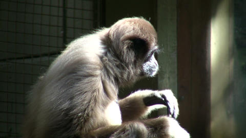 Close-up of White-Handed Gibbon sitting in the sunshine Stock Video Footage
