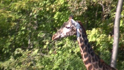 Close-up of a Masai Giraffe as it casually walks around Stock Video Footage