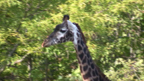 Close-up of a Masai Giraffe as it casually walks around Live Action