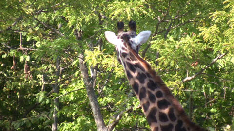 Close-up of a Masai Giraffe as it casually walks around Stock Video Footage