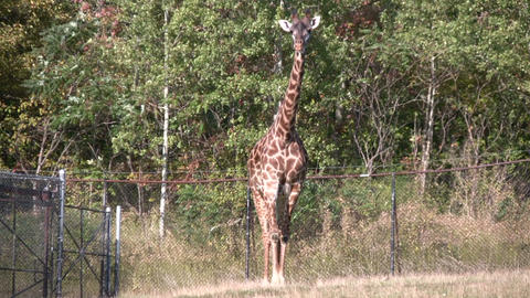 Masai Giraffes casually walks around Stock Video Footage