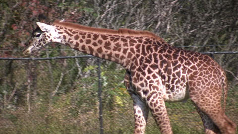 Masai Giraffes casually walks around Stock Video Footage