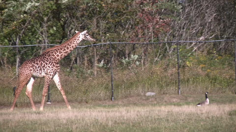 Masai Giraffes is following a goose Stock Video Footage