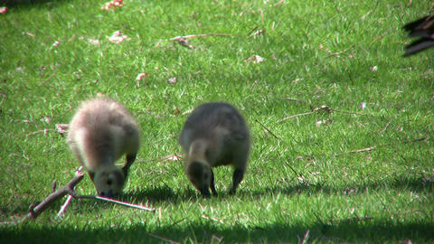 Family of geese goslings are eating in field (High... Stock Video Footage