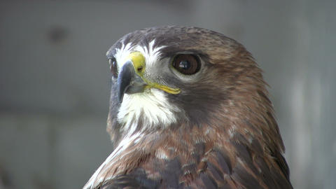 Closeup of Red-Tailed Hawk as he looks around (High... Stock Video Footage
