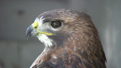 Closeup of Red-Tailed Hawk as he looks around (High Definition) Footage