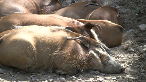 Family of Red River Hogs are sleeping in the sunlight Stock Video Footage