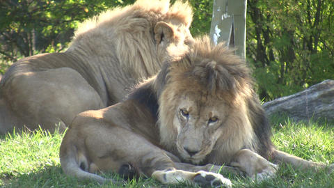 Some African Lions are relaxing in a field Stock Video Footage