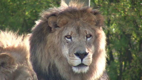Closeup of an African Lion, relaxing in a field Stock Video Footage