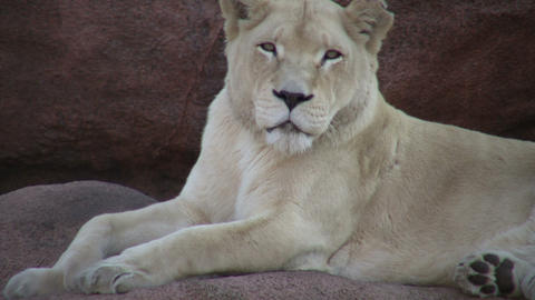 Closeup of an African Lion, relaxing on some rocks Footage