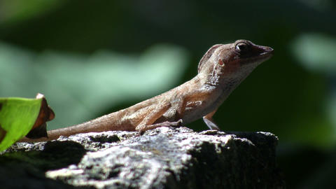 Lizard 03 (High Definition) Stock Video Footage