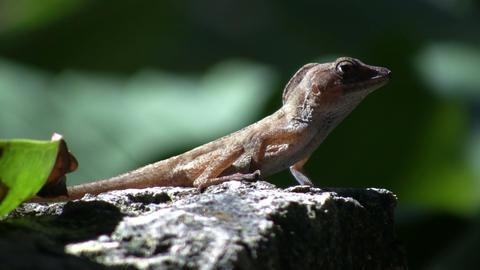 Lizard 03 (High Definition) Stock Video Footage
